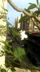 Tripoli fleur